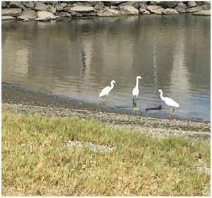 Egrets at Heron's Head Park. Photo: Jacob Bourne