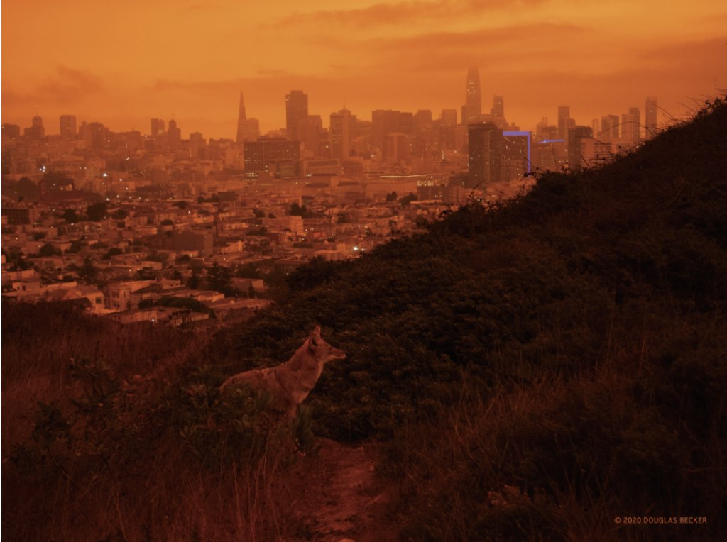 Coyote. Corona Heights Park, San Francisco. September 9, 2020, around noon. Photo: Douglas Becker